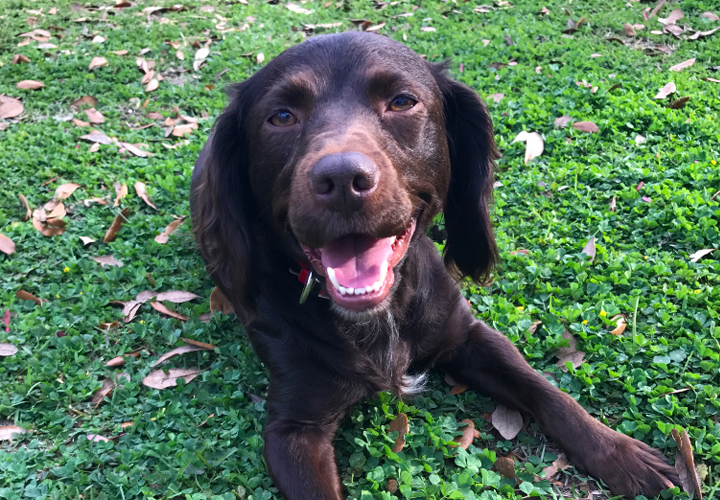 Bailey the Boykin Spaniel (Kristin Roberts)