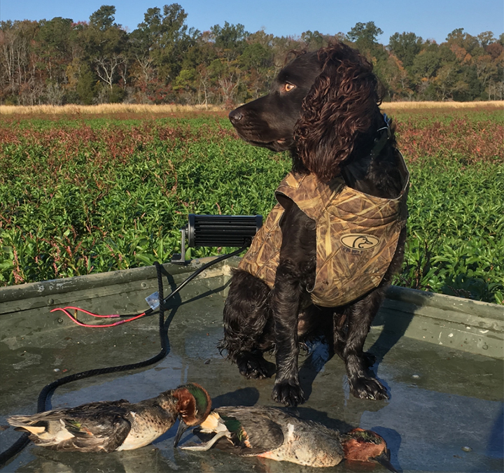 Jake the Boykin Spaniel (Robert Fischer)