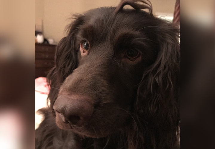 Jazz the Boykin Spaniel (Dave Adams)