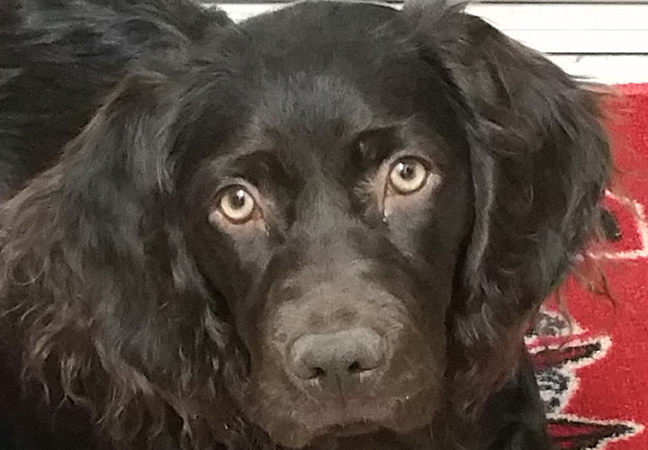 Molly the Boykin Spaniel (Lisa Moore)