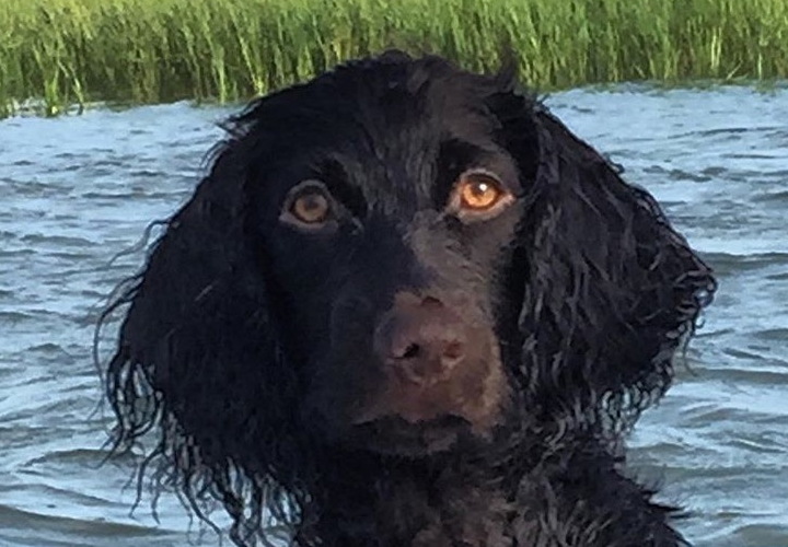 Raleigh the Boykin Spaniel (Rachel Barry)