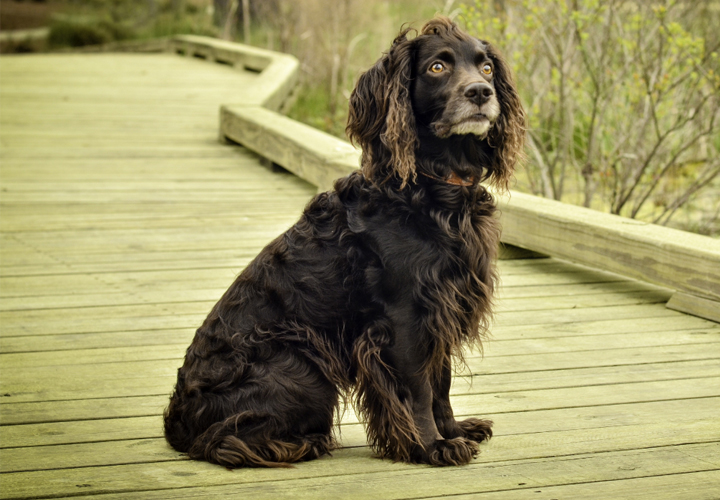 Winston the Boykin Spaniel (Bob Willan)