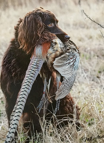 A boykin spaniel hunting with it's owner's prey in its mouth