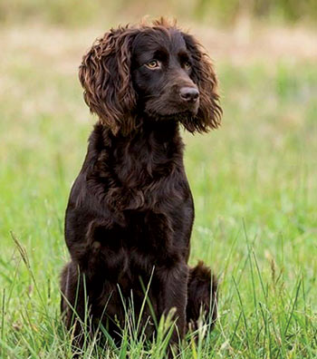 A beautiful boykin spaniel in grassy field