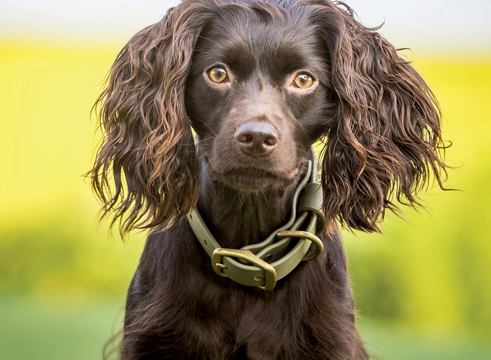 The Boykin Spaniel, South Carolina's State Dog