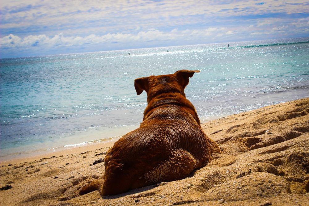 isle of palms, sullivans island dog rules beach