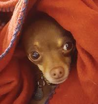 MT PLEASANT FAVORITE PET: Poco the Chihuahua