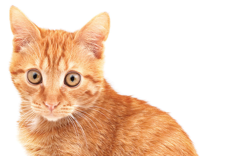 Why not adopt an adorable cat?